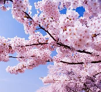 Cerisiers en fleurs Marie-Maguelone