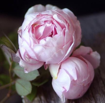 Jolie pivoine rose