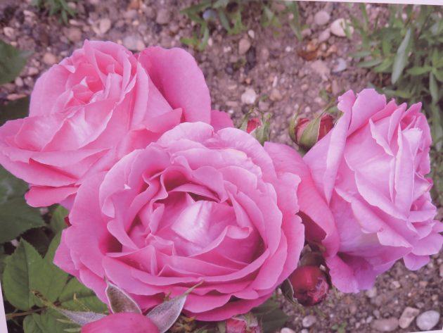 Roses au parc de la tête d'or
